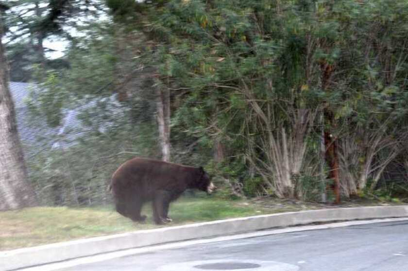 A bear makes its way back toward the Angeles National Forest