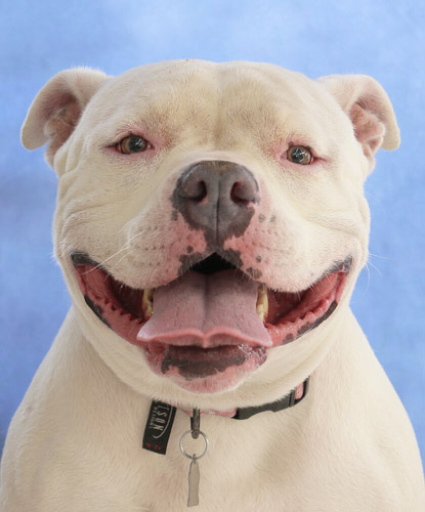 Pet of the week is Joules, 4-year-old American bulldog/American pit bull mix.