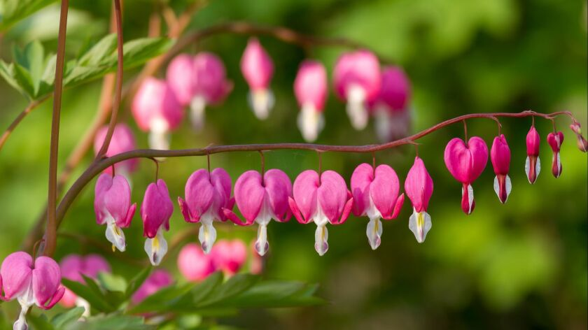 Heart shaped flowers in the garden