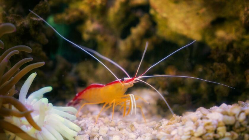 A Scarlet Skunk Cleaner Shrimp is one of the living exhibits at the Living Coast Discovery Center in Chula Vista.