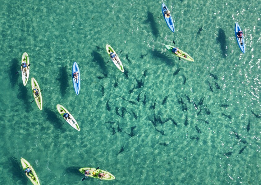 Kayakers float above leopard sharks in the clear, shallow waters of La Jolla Shores.