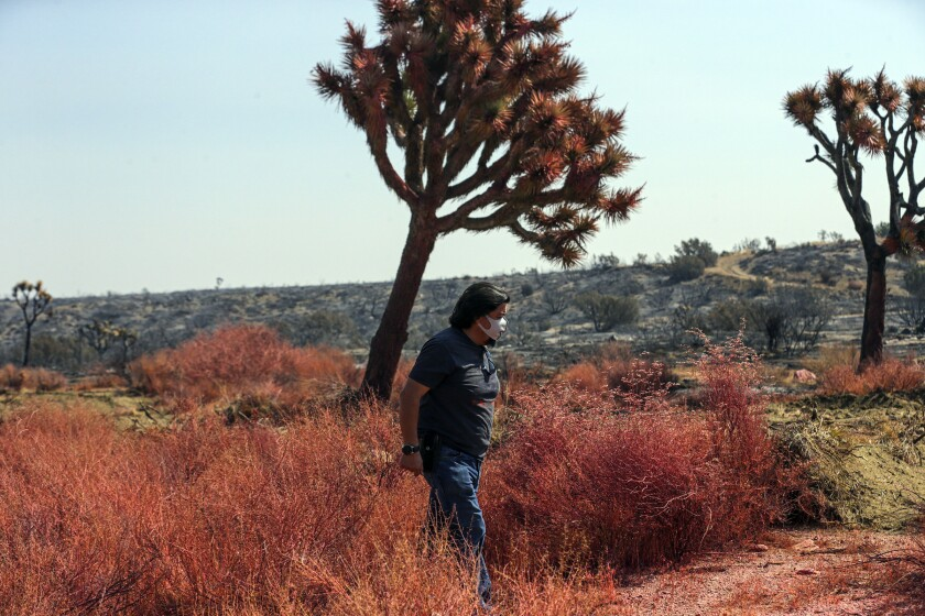 Zenon Mayorga walks among bushes and Joshua trees covered in red fire retardant in Juniper Hills on Saturday.