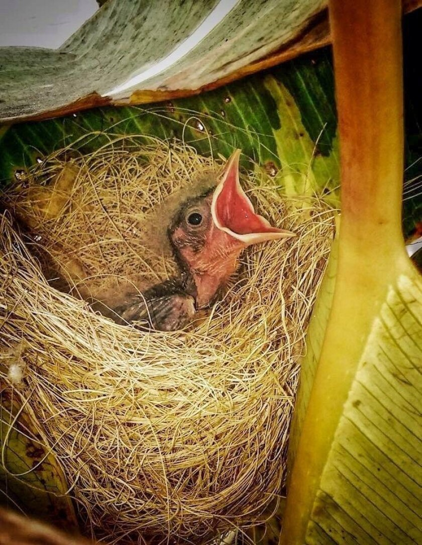 Hooded orioles prefer to nest in palms, but will use other trees to construct their deep, basket nests. Here a chick demands food.