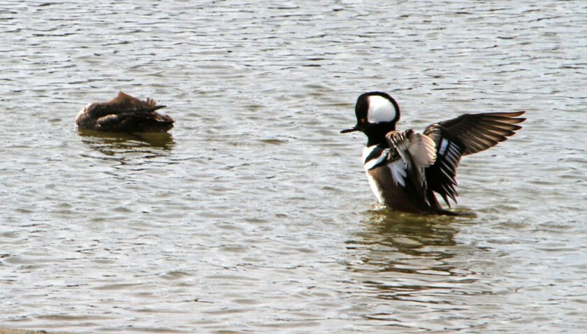 A hooded merganser duck stretches its wings, the species comes south for the winter, at the San Elijo Lagoon during a Family Fun Days event featuring information on migrating birds of the lagoon Sunday. photo by Bill Wechter