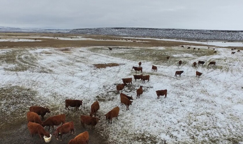 Cattle graze on lowland grasses on the Malheur National Wildlife Refuge.