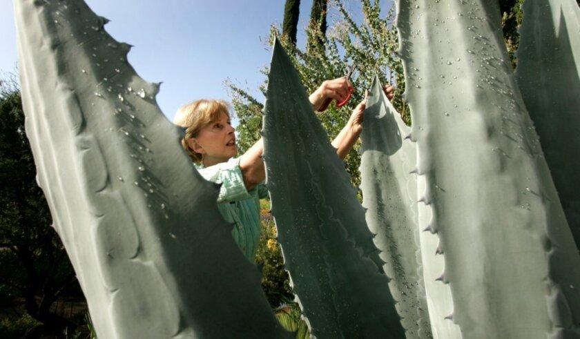 Debra Lee Baldwin, succulent gardener, photographer and author, trims an Agave Americana, or Century Plant in her home garden.