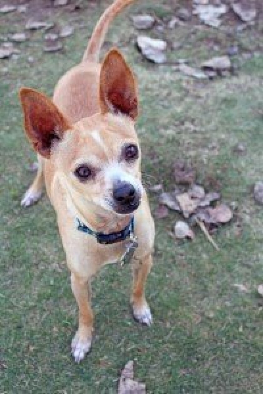 Meet Brazil, pet of the week at Helen Woodward Animal Center (6461 El Apajo, Rancho Santa Fe, CA 92091).  For more information call 858-756-4117, option #1 or visit www.animalcenter.org.