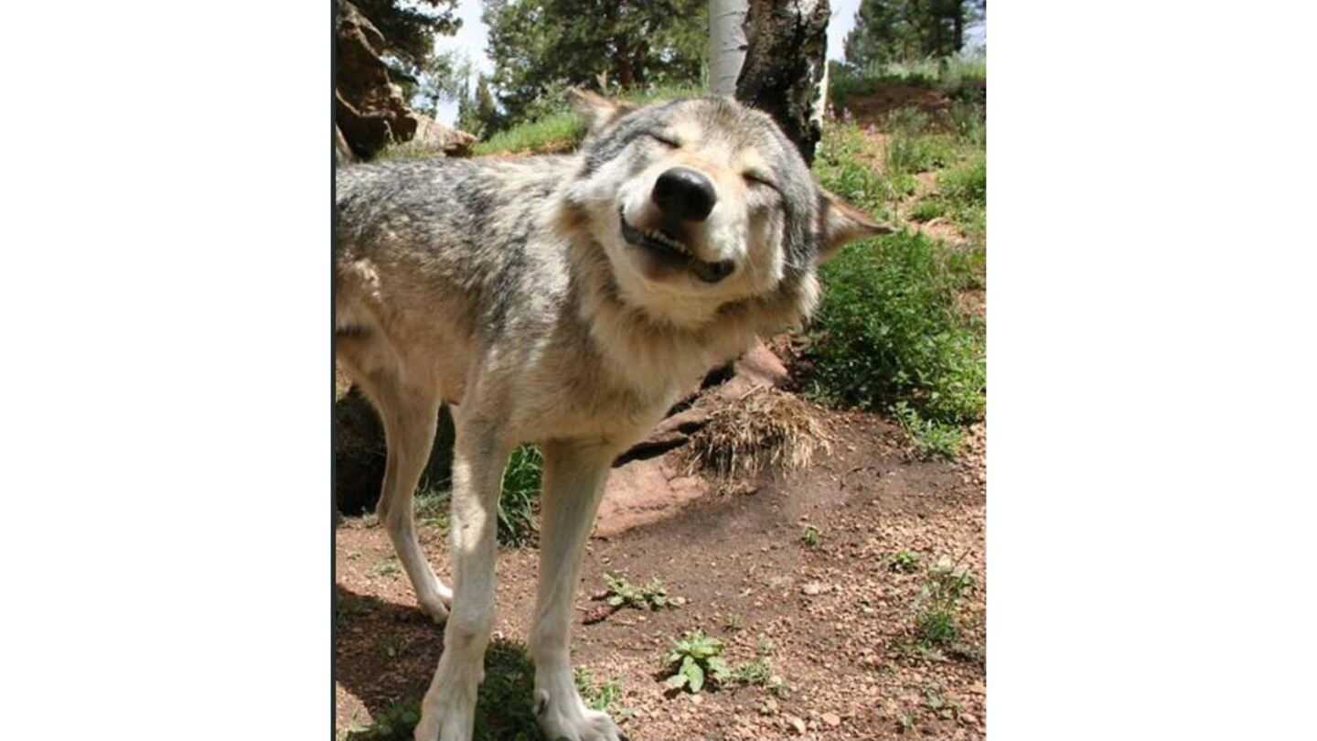 """From the folks at the Colorado Wolf and Wildlife Center, """"ambassador"""" wolf Micah."""