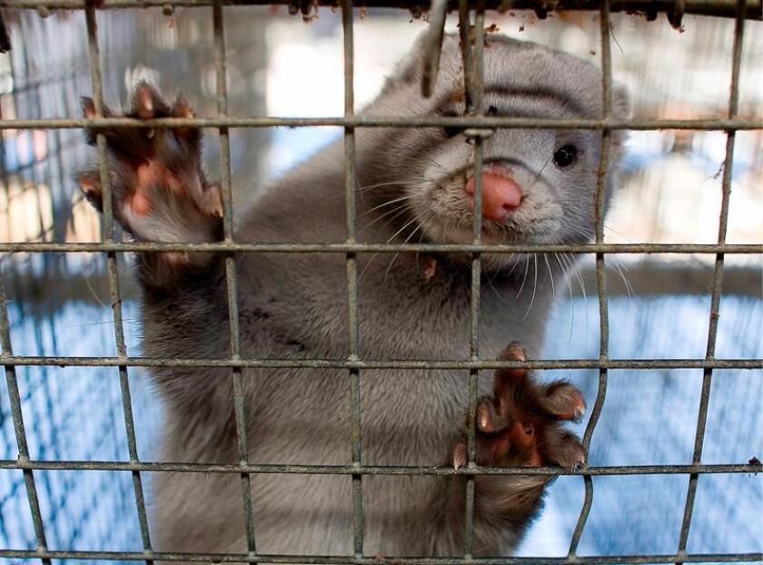 Un visón azul mira a cámara desde su jaula en una granja de visones. EFE/Archivo