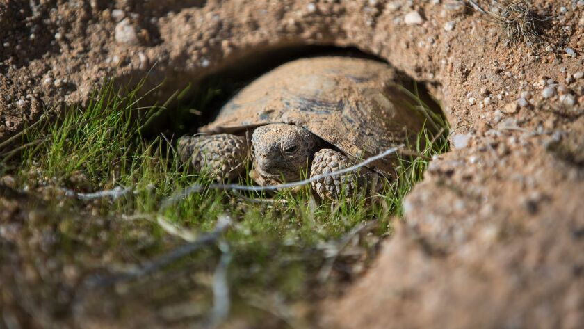 A young desert tortoise pops out of his burrow inside a protective pen set up at the Marine Corps Air Ground Combat Center in Twentynine Palms.