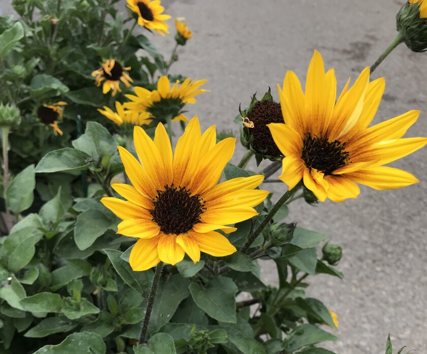 Sunbelievable is one of the newer compact sunflowers. It has multiple branches and vibrant gold blooms.