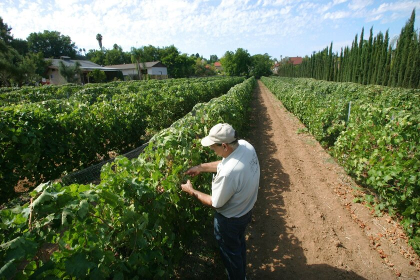 Gasper Ferrara Jr., the third-generation owner of Ferrara Winery in Escondido, checks grapes at the nearly 80-year-old business, which he and his mother have decided to sell. The winery is a state and local historical site.