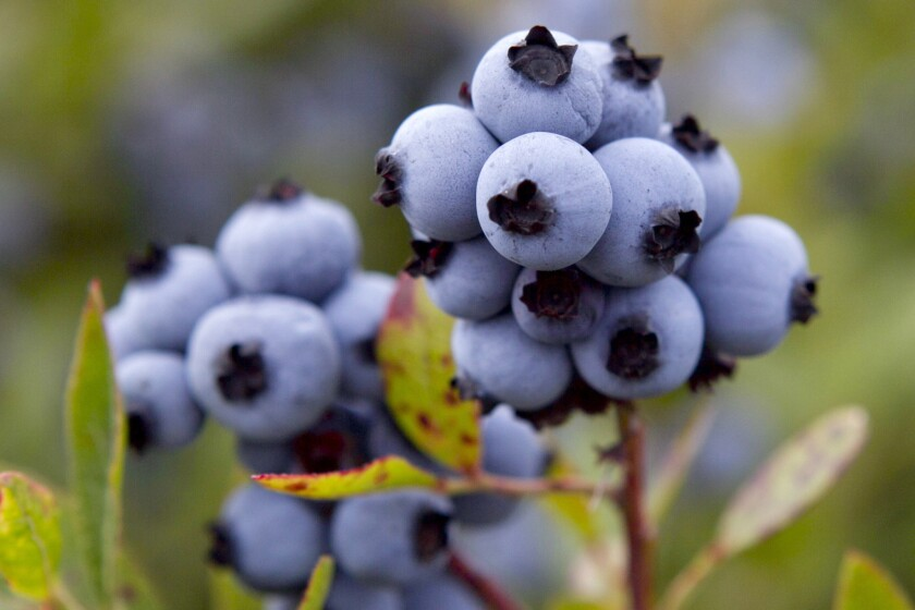 FILE - In this July 27, 2012 file photo, wild blueberries await harvesting in Warren, Maine. The state's wild blueberry crop suffered in 2020 due to drought and a lack of labor caused by the coronavirus pandemic. (AP Photo/Robert F. Bukaty, File)