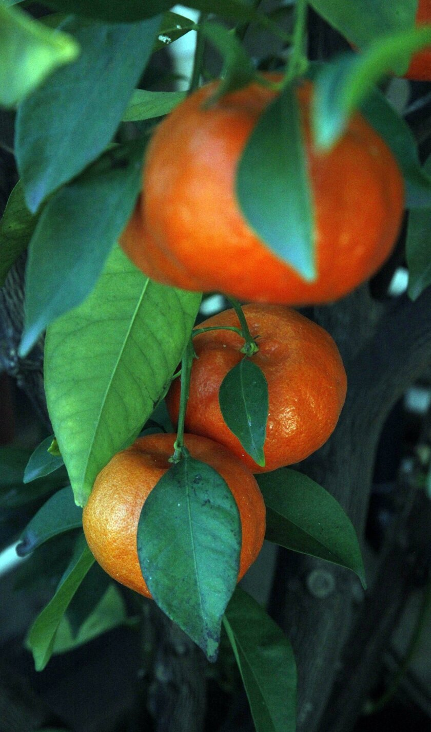 This year's crop of Caton's tangerines are colorful and tasty.