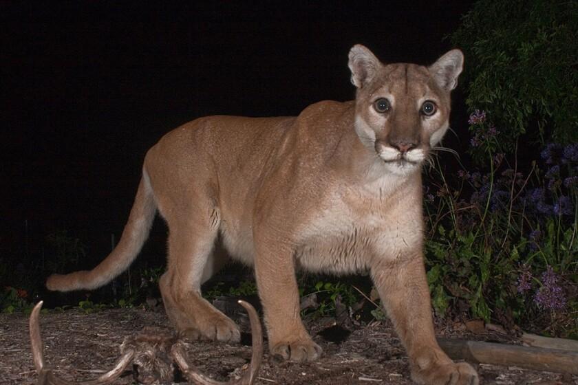 The mountain lion known as P-41 in the Verdugo Mountains