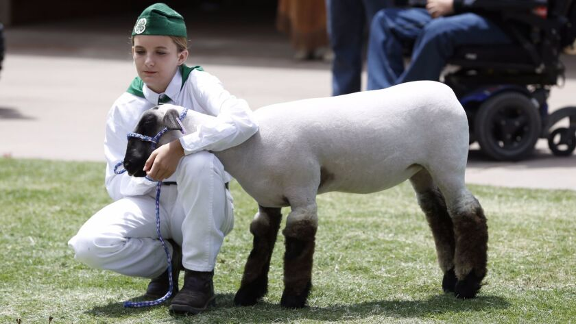Taylor Michalke, 12, of Fallbrook, will be auctioning off her six-month-old lamb, Kimber, at the Jun