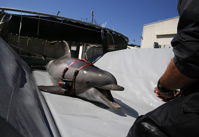 A highly trained bottlenose dolphin slides onto a beaching tray in preparation for transport to the open sea in San Diego at the Space and Naval Warfare System Pacific.
