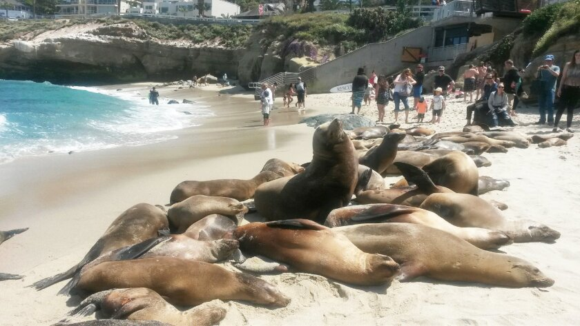 Sea lions have taken up much of La Jolla Cove for the past few weeks, to the delight of tourists and the consternation of locals.