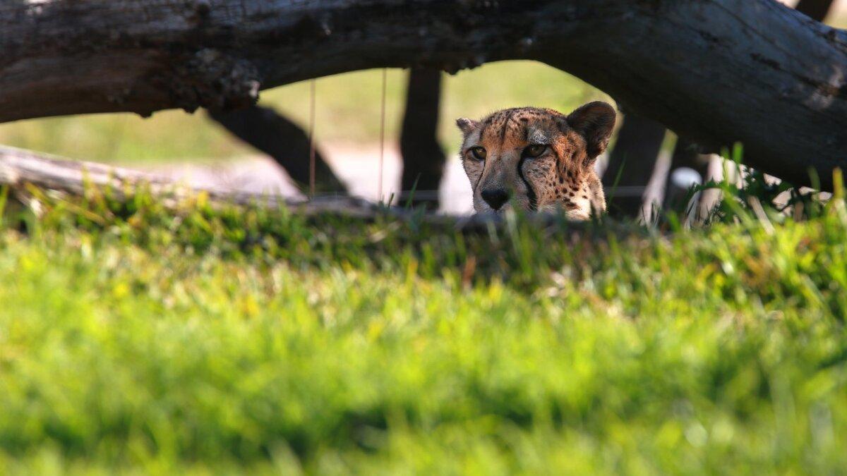 Safari Park Persiste A Pesar De Crisis San Diego Union