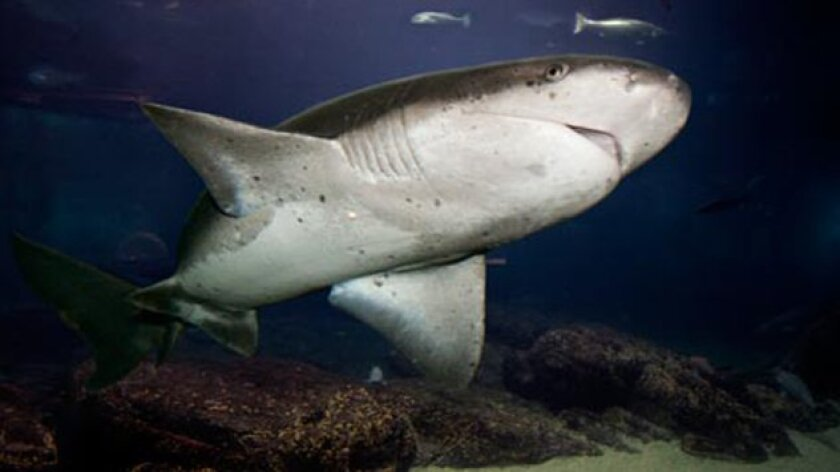 Are broadnose sevengill sharks coming to the La Jolla Coast to snack on weak sea lion pups and newborn seals? Courtesy