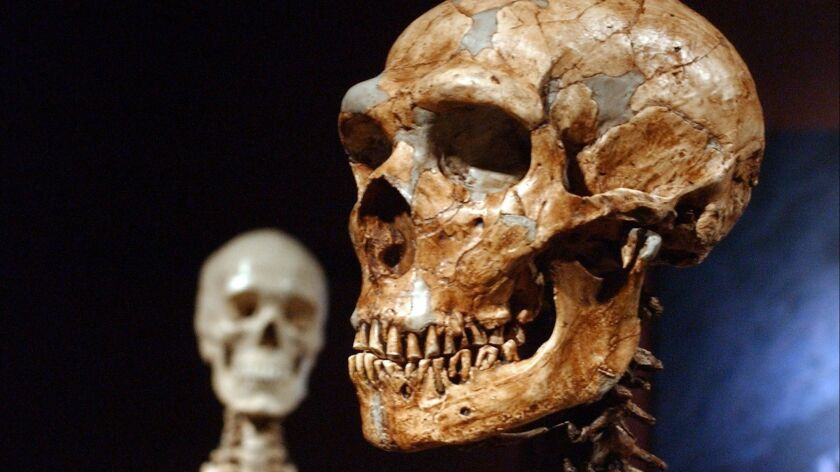 A reconstructed Neanderthal skeleton, right, and a modern human version of a skeleton, left, are on