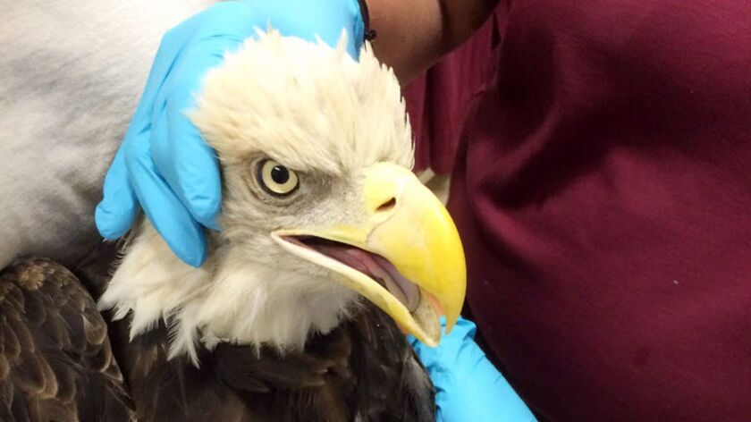 This bald eagle was found lying near death on Sept. 19 on a trail in Ramona.