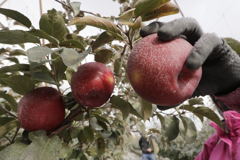 Cosmic Crisp is the first apple variety bred in Washington state.