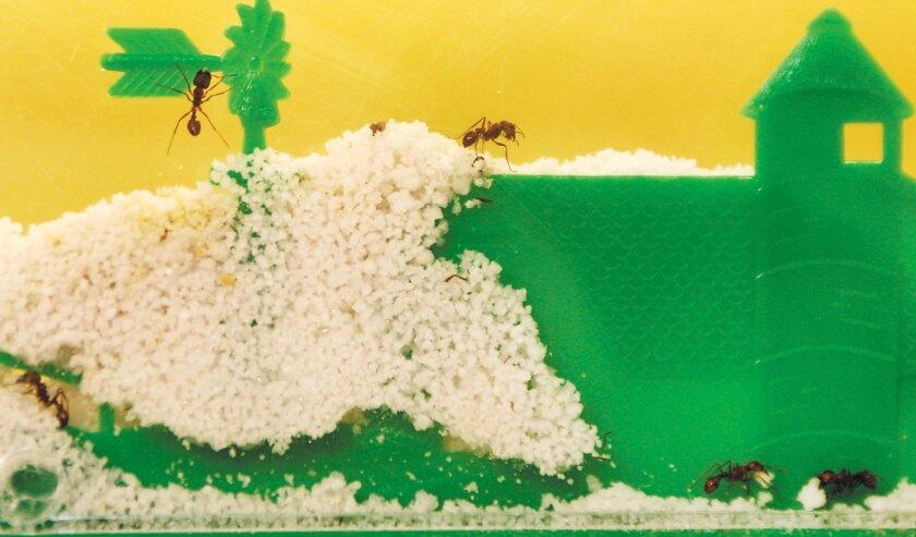 Ants explore the confines of an Uncle Milton Ant Farm toy.