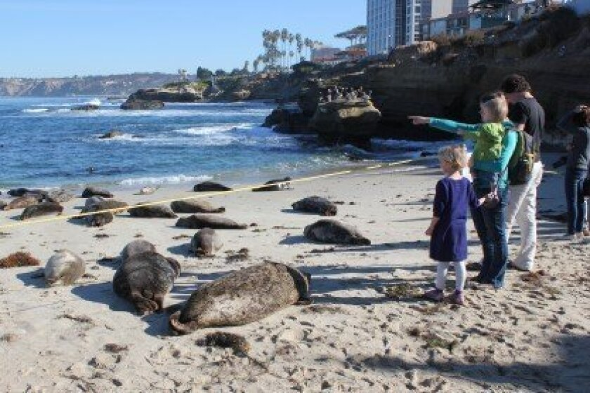 People view harbor seals at Children's Pool Dec. 30. The planning commission will again consider closing the beach to humans during the seals' five-month pupping on Jan. 16. Pat Sherman