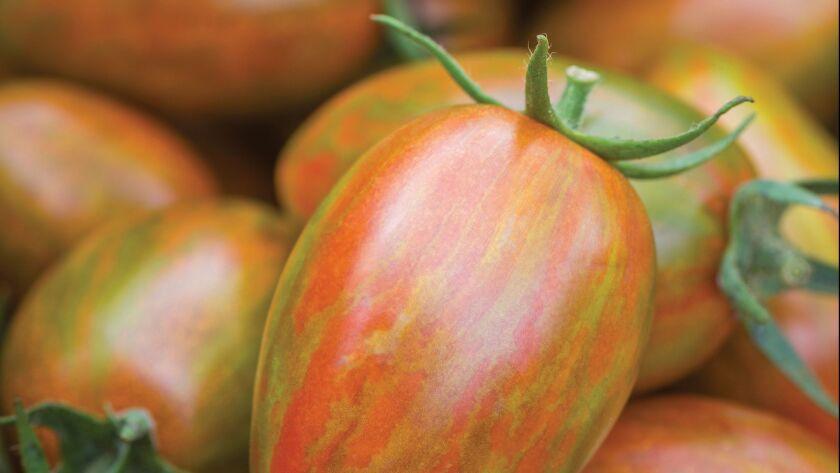 Tomato 'Shimmer Hybrid'