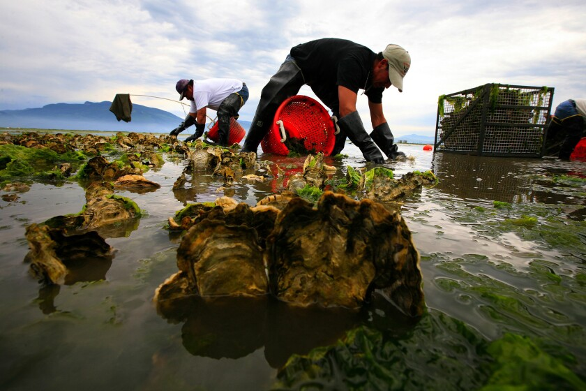 Farmers harvest oysters in Samish Bay, Wash., in 2008. A recent study found microplastic pollution harms Pacific oysters, which are grown for food on the West Coast.