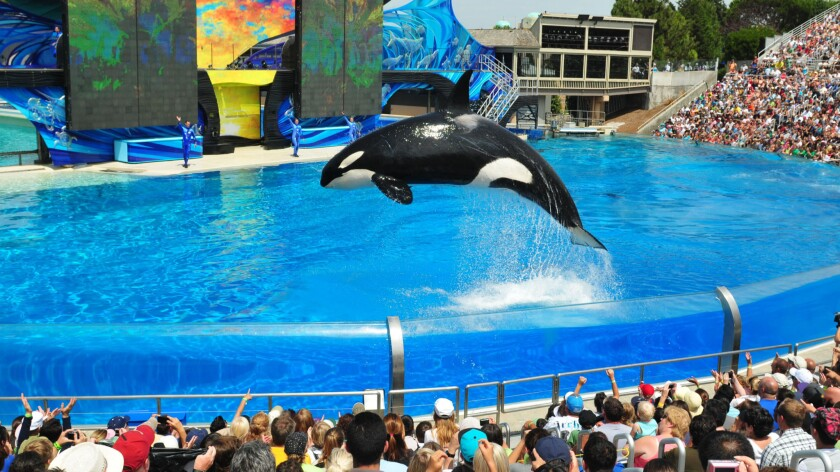 """An orca performs in the """"One Ocean"""" killer whale show at SeaWorld San Diego."""