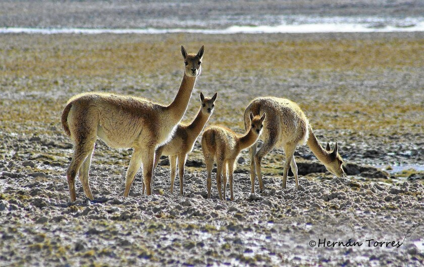 Vicunas in the Andes in northern Chile are under threat from poachers who kill them for their pelts instead of herding and shearing them, as families have done for centuries.