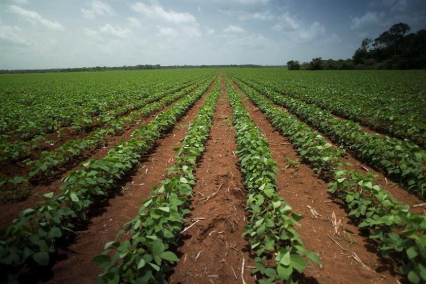 Fotografía fechada el 21 de julio de 2017 que muestra una vista general de un plantío de soya trasgénica en el estado de Yucatán (México). Desde que México autorizó la siembra comercial de soya transgénica en la Península de Yucatán en 2012, sin consultar a los agricultores locales que defienden los cultivos tradicionales, la leguminosa modificada que patentó la empresa Monsanto se convirtió en la semilla de la discordia. EFE