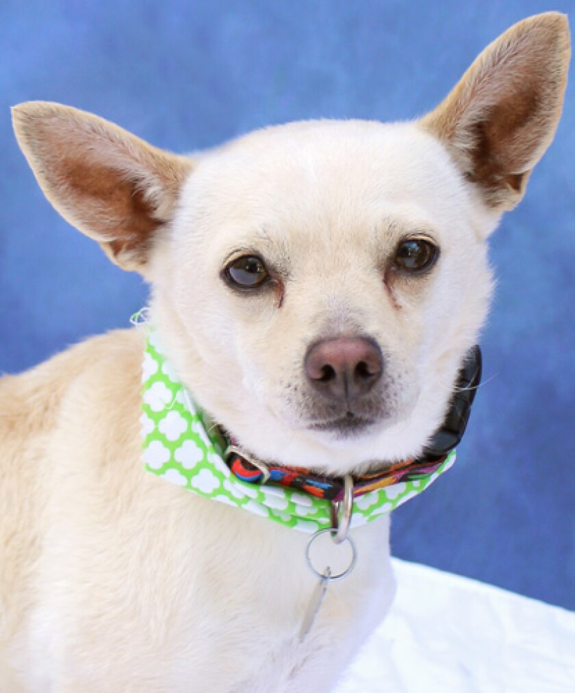 The pet of the week is a Chihuahua mix.