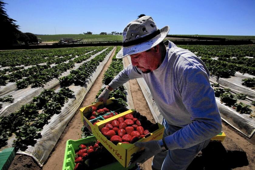 Roberto Alanis works in a UC Davis strawberry field in Watsonville, Calif.
