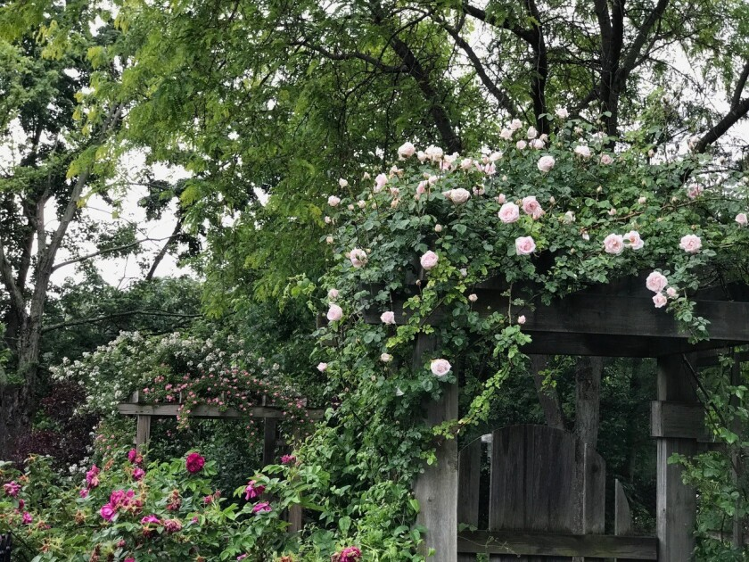 New Dawn is a fragrant, repeat-blooming rose with abundant soft pink blooms and can grow to 10 feet.
