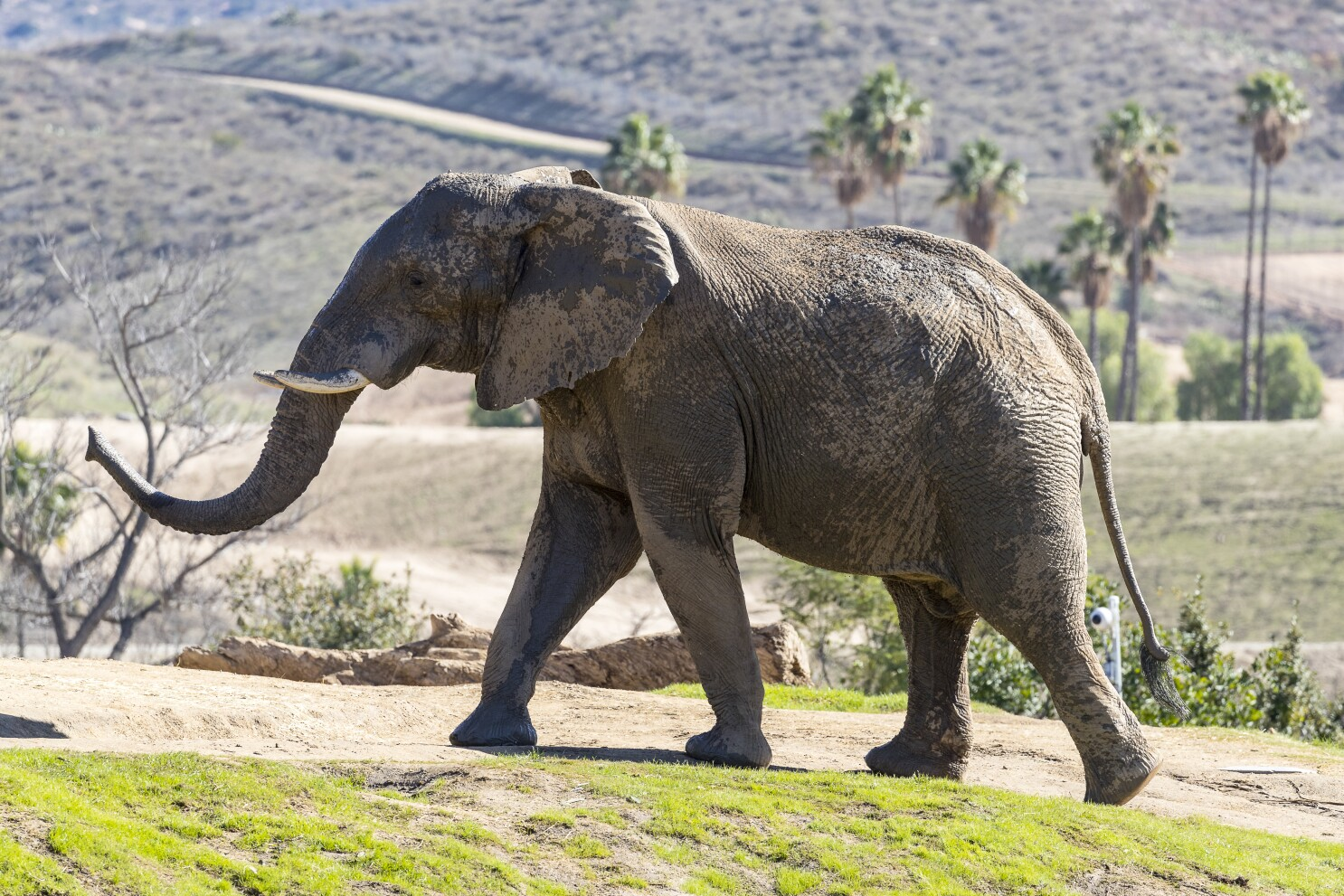 Msholo the African elephant leaves San Diego Zoo Safari Park for new home, companions