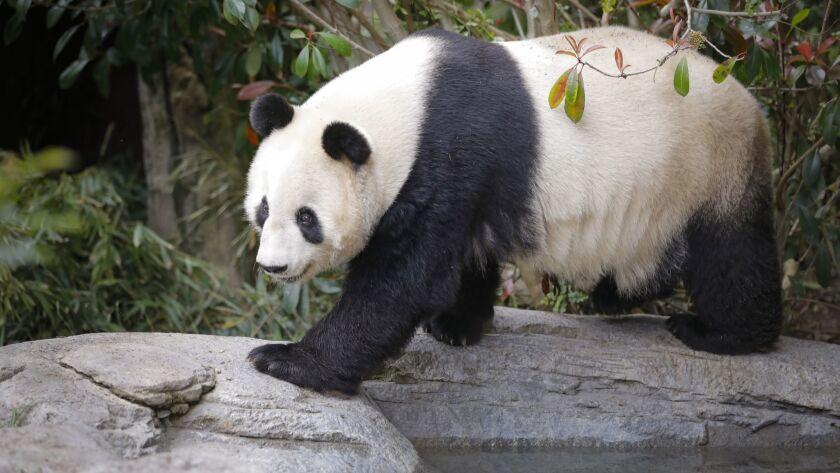 SAN DIEGO, CA 3/21/2019: EMBARGOED UNTIL NOON MARCH 25. Bai Yun, one of two giant panda bears at th