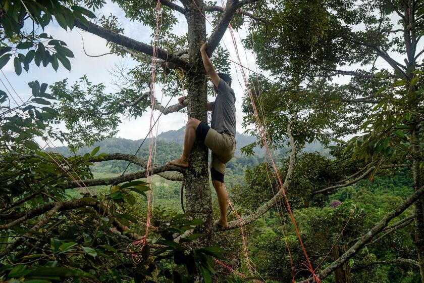 En una granja propiedad de Tan Eow Chong, su hijo Tan Chee Keat trepa a un árbol para atar un durián de Musang King y evitar que la fruta caiga prematuramente;