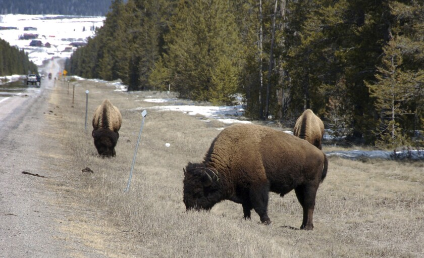FILE - In this April 20, 2014, file photo, bison graze along a state highway near West Yellowstone, Mont. The U.S. Forest Service has delayed a proposed logging project just outside Yellowstone National Park that was meant to reduce the risk of fire and improve forest health. (AP Photo/Matthew Brown, File)