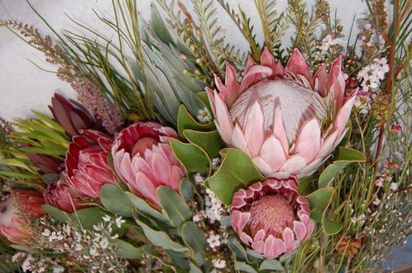 La Jolla Garden Club will discuss Protea