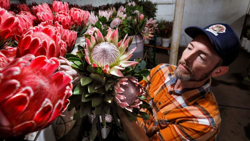 In a refrigerated storeroom at Resendiz Brothers Protea Growers Tracy Easter, of the sales department, compares red Queen protea flowers, at left, with the light purple colored King proteas he's holding. Both are shipped here this time of year from South