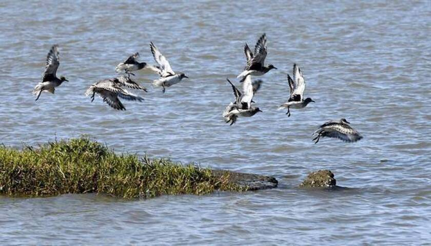 Water birds fly over the Sacramento-San Joaquin River Delta, which boasts a diversity of flora and fauna.