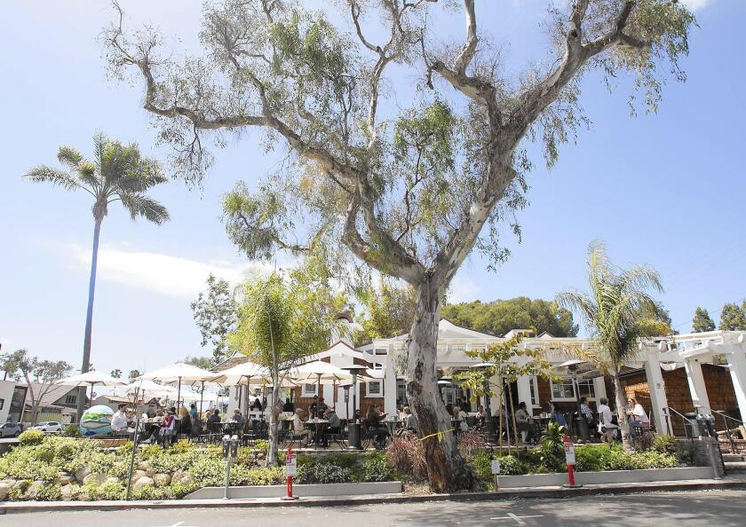 A 50-foot eucalyptus tree next to Urth Caffe prompted recent talk of city tree procedures in Laguna. A decision on its fate has not been made.