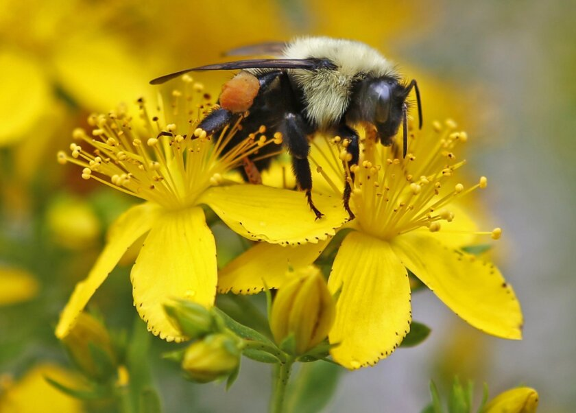 In this July 8, 2015 photo a bumblebee gathers nectar on a wildflower in Appleton, Maine. Maine scientists say the state needs to take a broad census of its bumblebees to ensure the security of its beloved blueberry and cranberry crops, and the state is enlisting its residents to make it possible.