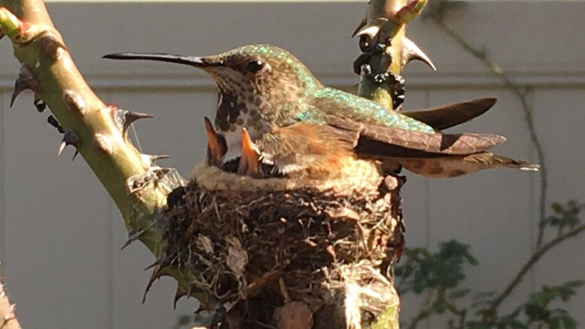 This hummingbird in Rita's garden is brooding two of her young in a nest anchored to a hybrid tea ro