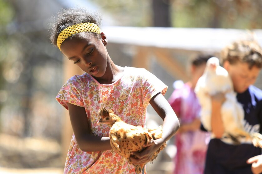 Askale Zuelsdorf, 8, holds one of the famly's chickens on their 12-acre ranch in Escondido. Askale was adopted from Ethiopia by Richard and Ella Zuelsdorf, who have started an adoption ministry for special needs and other children from other countries. The Zuelsdorfs have 13 children and hope to br