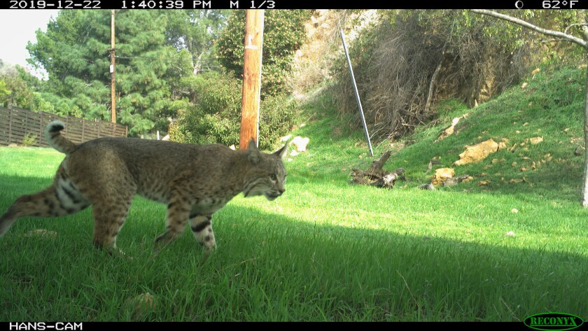 A bobcat ventures just outside the boundary to Griffith Park on Dec. 22, 2019. Since the pandemic, wildlife is expanding its territory after humans decamped from the streets.