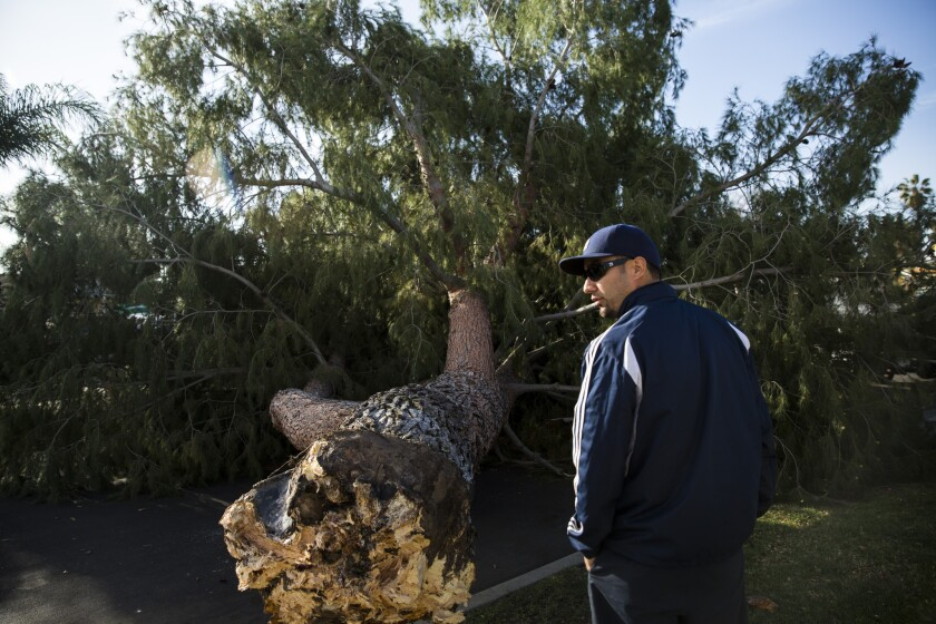 Adam Gutierrez, with the L.A. Department of Urban Forestry, assesses a downed pine tree that fell around midnight in a Reseda neighborhood because of high winds.